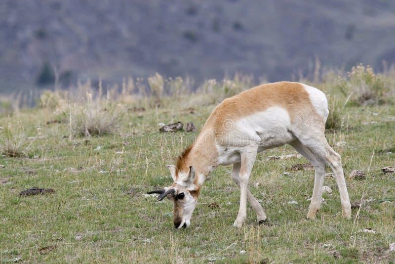 Antilope de Pronghorn masculine frôlant sur de nouvelles herbes de ressort images libres de droits