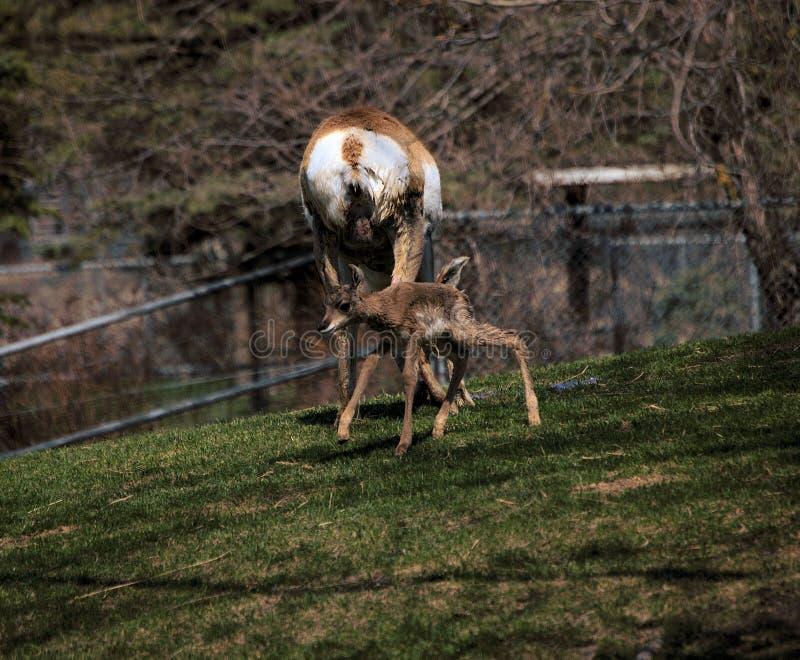 Antilope de Pronghorn nouveau-née photo libre de droits