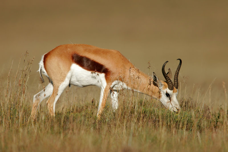 Antilope de springbok images stock