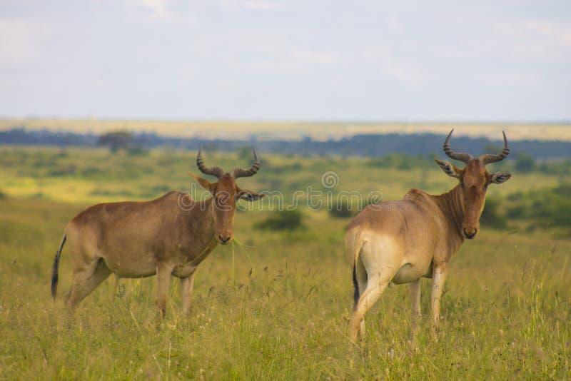 Antilope in de wildernis wordt bevlekt die royalty-vrije stock fotografie