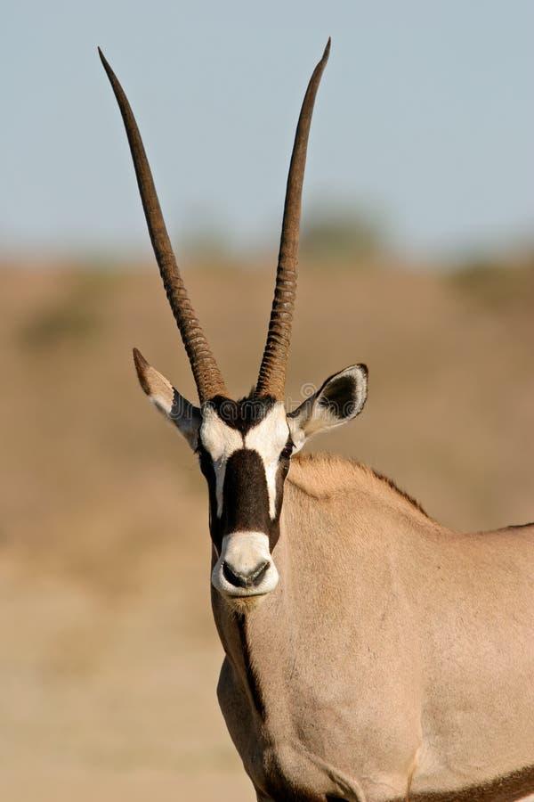 Download Antilope del Gemsbok immagine stock. Immagine di cornuto - 3890471