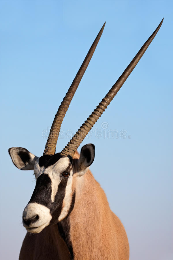 Antilope del Gemsbok, deserto di Kalahari, Sudafrica fotografia stock libera da diritti