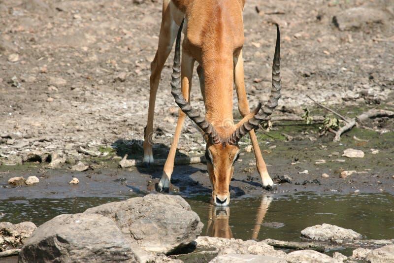 Antilope del Impala immagine stock