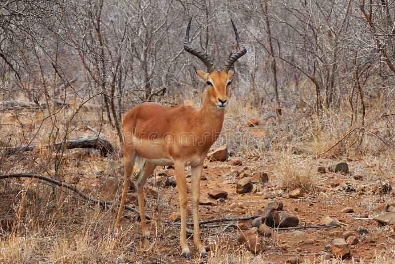 Antilope del Impala, Kruger NP, Sudafrica fotografie stock