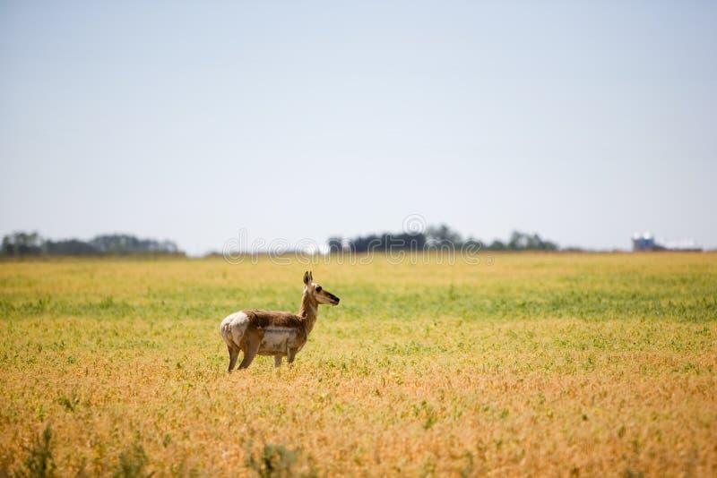 Antilope della prateria fotografia stock
