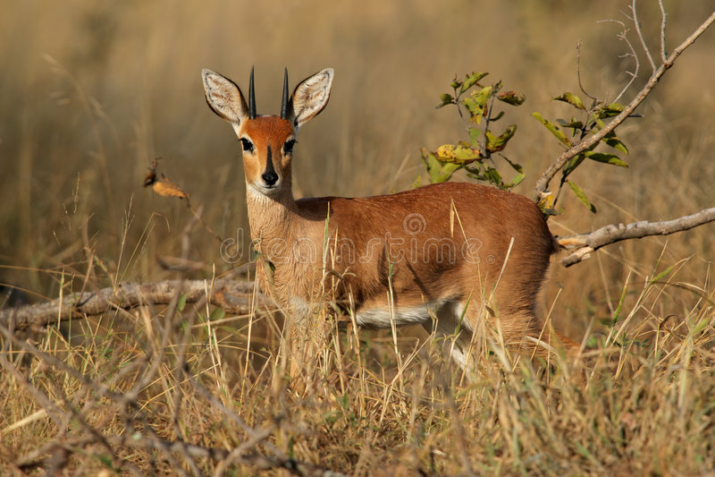 Antilope dello Steenbok fotografia stock libera da diritti