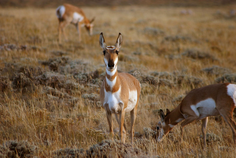 Antilope di Pronghorn che pasce immagine stock