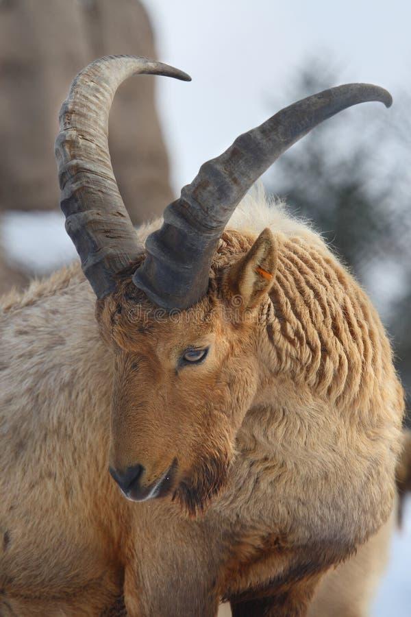 Antilope di Sable immagine stock