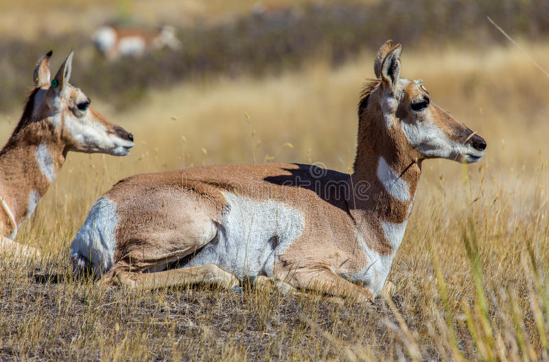 Antilope due fotografie stock libere da diritti