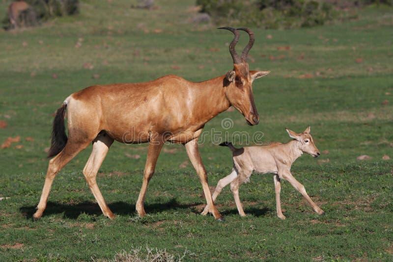 Antilope e mamma rosse di Hartebeest del bambino fotografie stock libere da diritti
