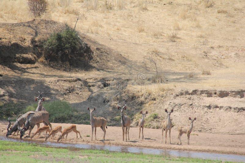 Antilope en andere dieren in de tijd van de waterdag stock foto's