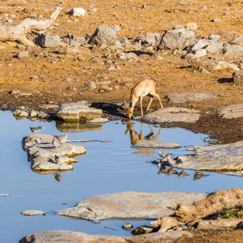 Antilope femminile dello steenbok a waterhole di mattina fotografia stock libera da diritti