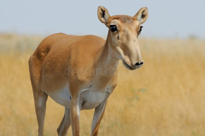 Antilope femminile selvaggia di Saiga in steppa della Calmucchia immagini stock libere da diritti