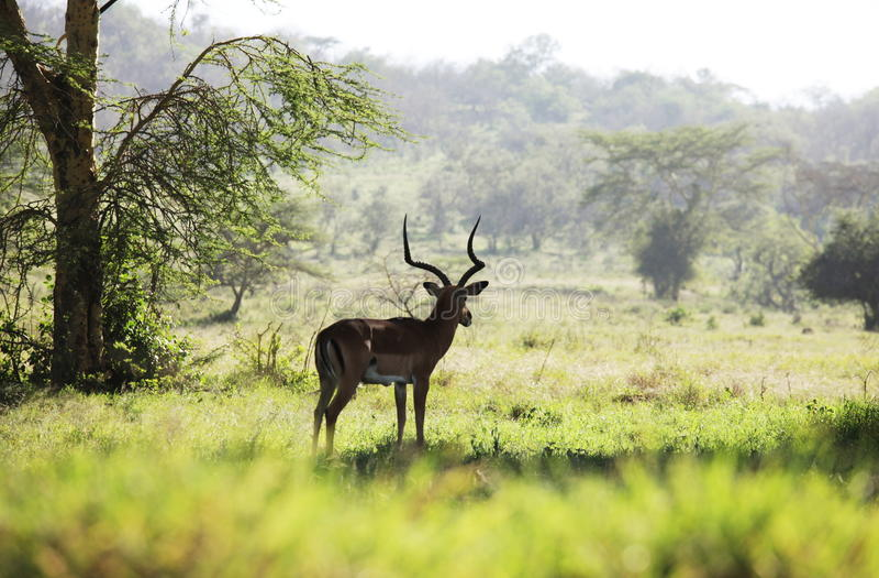 Antilope im Park stockfoto