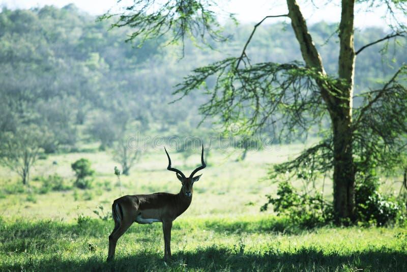 Antilope im Wald stockfoto