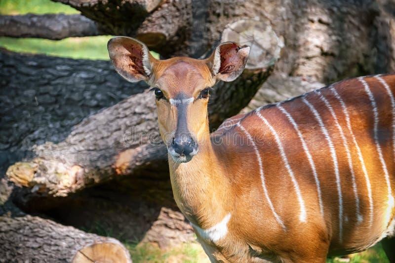 Antilope mignonne de nyala dans le jardin zoologique images stock