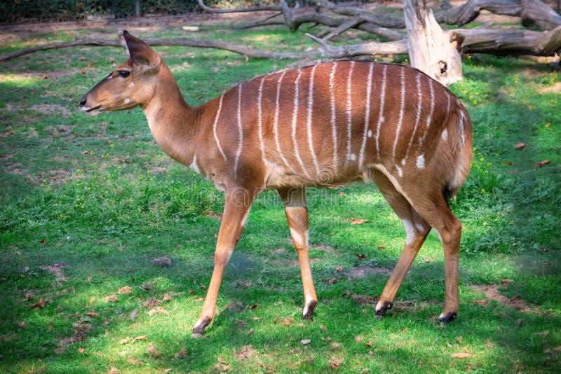 Antilope mignonne de nyala dans le jardin zoologique photos stock