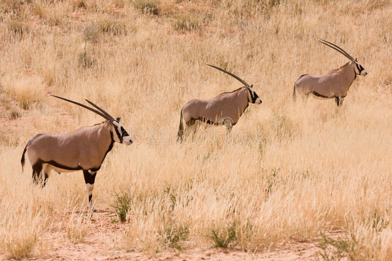 Antilope mit drei Gemsbok im Kgalagadi stockfotografie