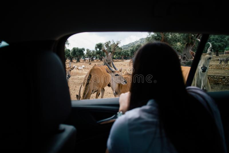 Antilope nello zoo Italia di safari di apulia di Fasano fotografia stock libera da diritti