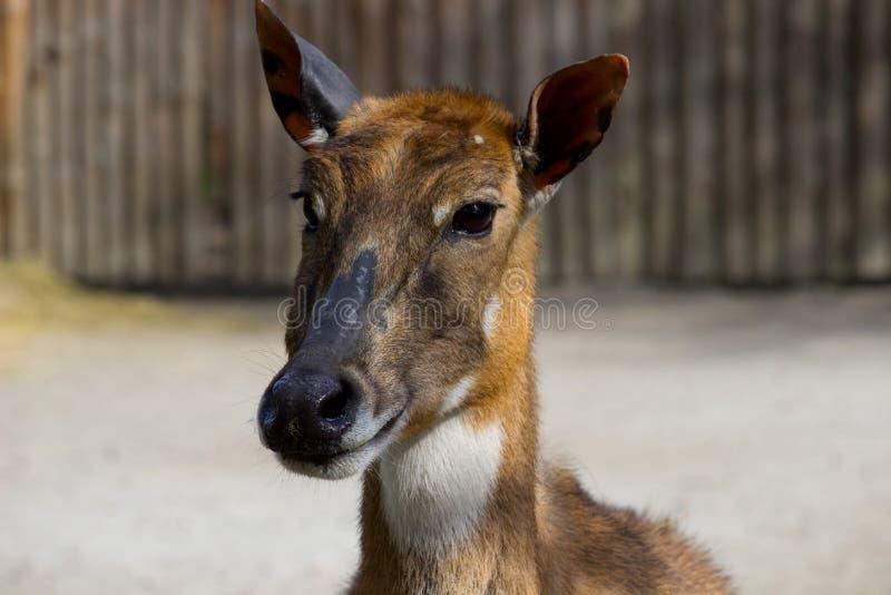 Antilope Nilgai oder blauer Stier stockfotos