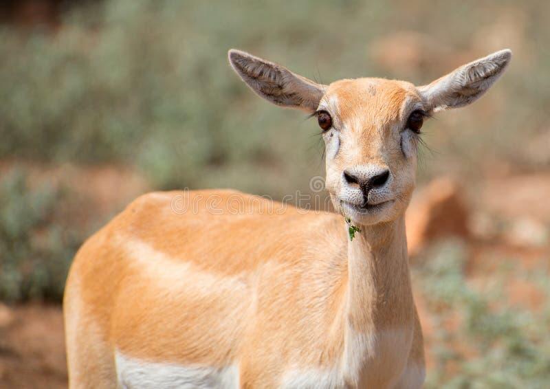 Antilope novo imagem de stock