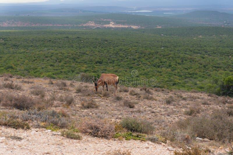 Antilope più hartebeest rossa che pasce nel selvaggio con paesaggio africano sui precedenti immagine stock libera da diritti