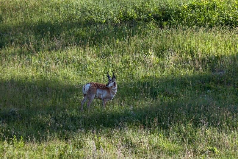 Antilope prudente photographie stock
