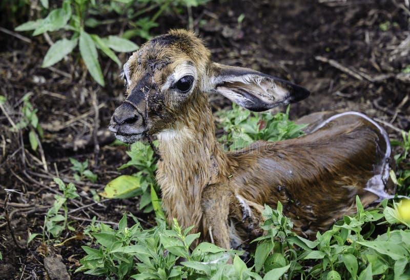Antilope recém-nascido imagens de stock
