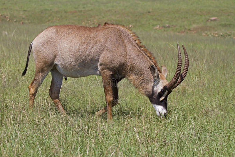 Antilope Roan che pasce nel pascolo verde fotografie stock libere da diritti