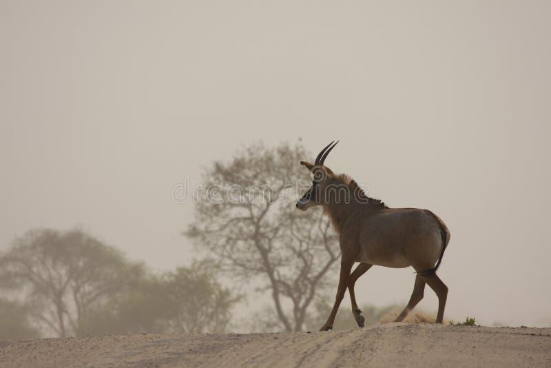 Antilope Roan rare photographie stock libre de droits