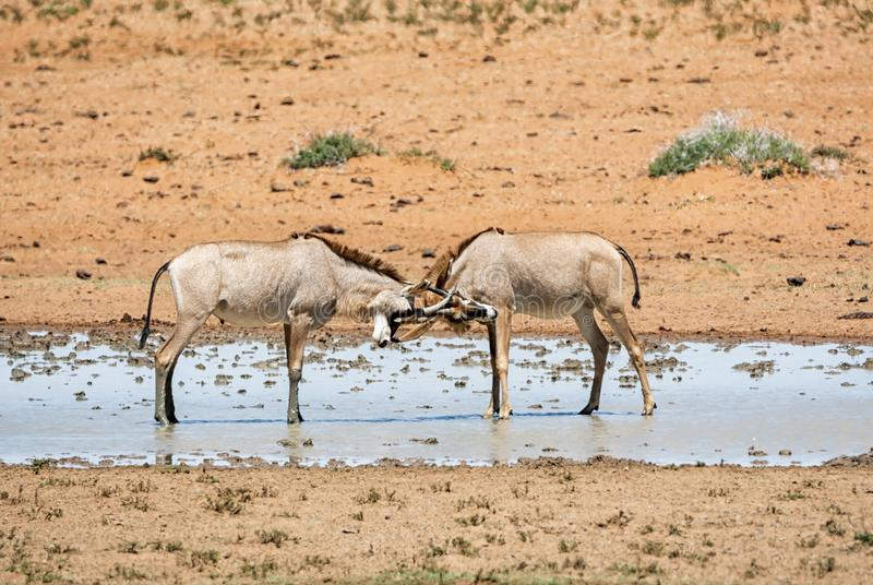 Antilope Roan image stock
