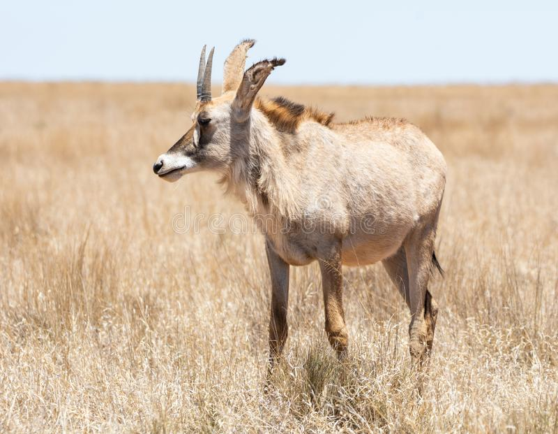 Antilope Roan photos stock