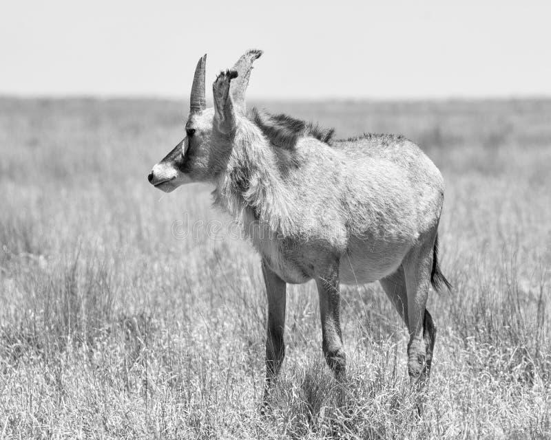 Antilope Roan images stock