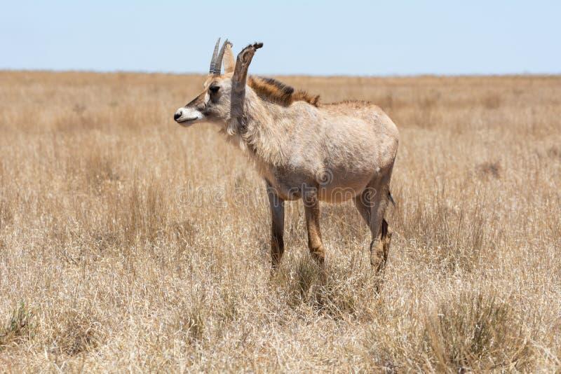Antilope Roan photo libre de droits