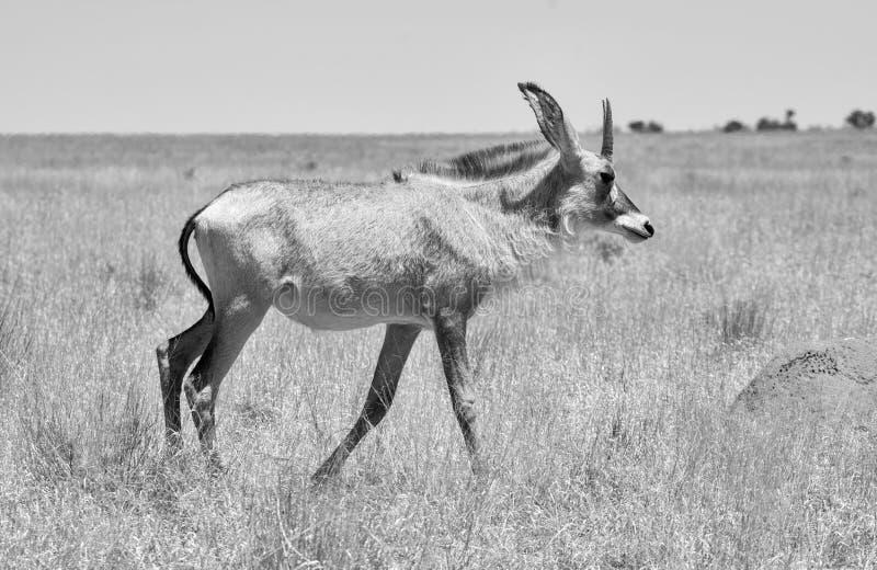 Antilope Roan photos libres de droits