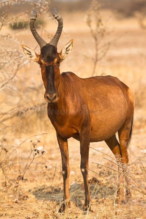 Antilope rossa di Hartebeest immagini stock libere da diritti