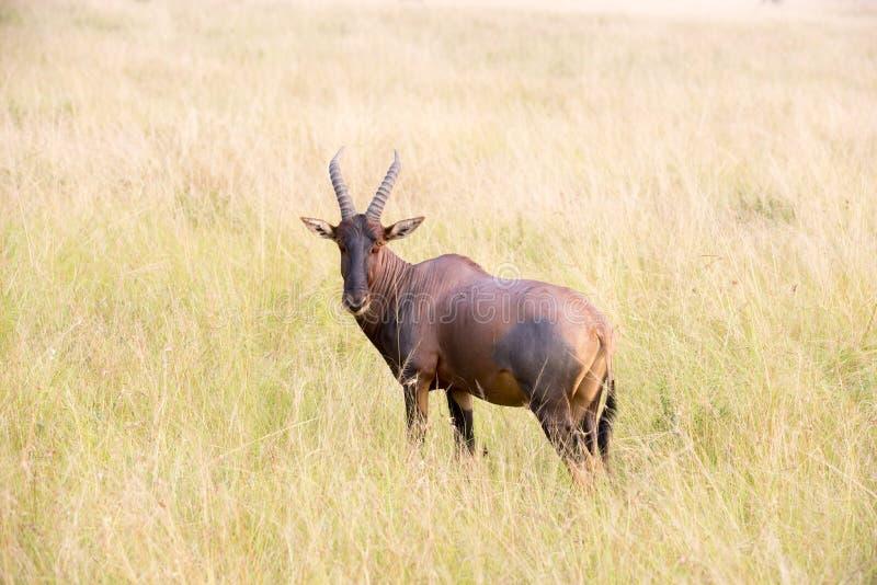 Antilope rossa di Hartebeest fotografia stock