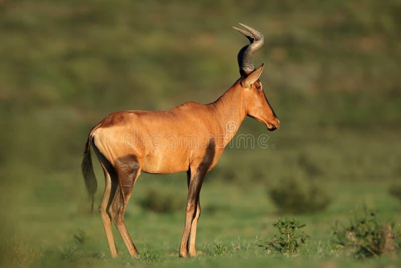 Antilope rossa di Hartebeest immagini stock