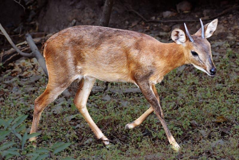 Antilope, Rotwild in den wild lebenden Tieren stockfotos
