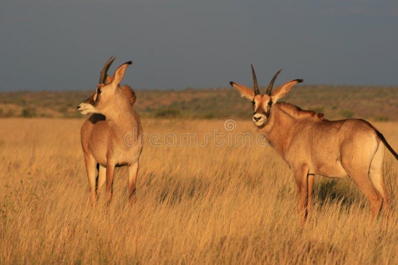 Antilope rouane dans le Cap-du-Nord photographie stock