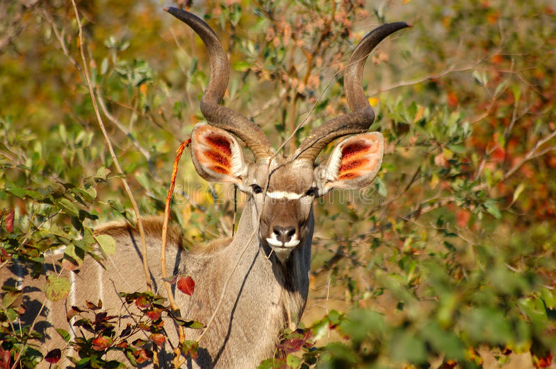 Antilope in Sabi Sand South Africa royalty-vrije stock foto