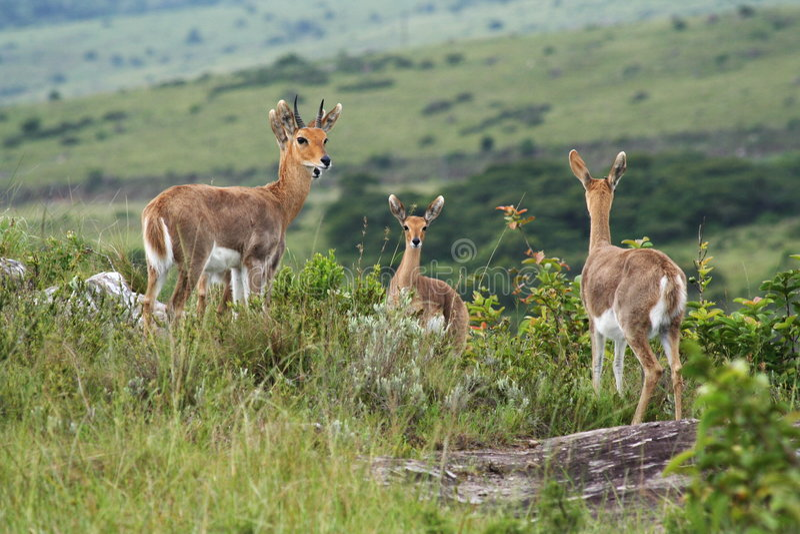 Antilope saltante immagini stock libere da diritti