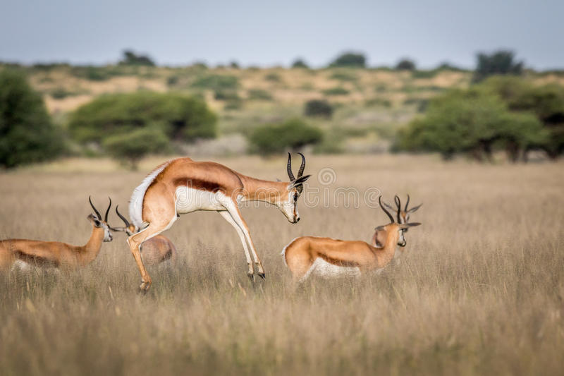 Antilope saltante che pronking nella Kalahari centrale immagini stock