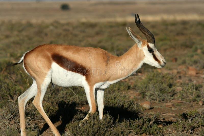 Antilope saltante che si alimenta sull'erba immagini stock