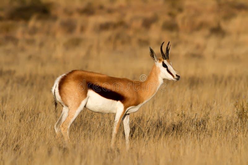 Antilope saltante maschio immagini stock libere da diritti