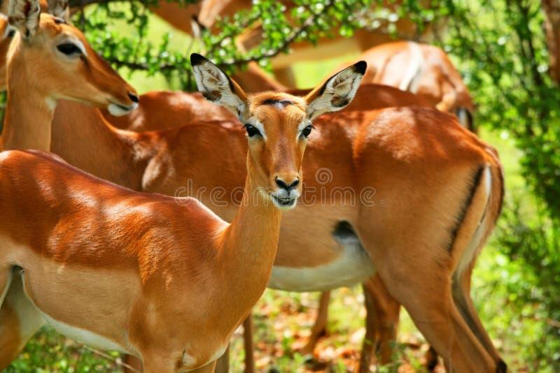 antilope sauvage image stock
