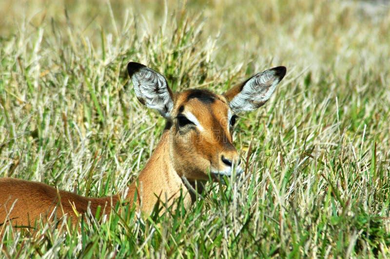Antilope selvaggia in erba immagini stock