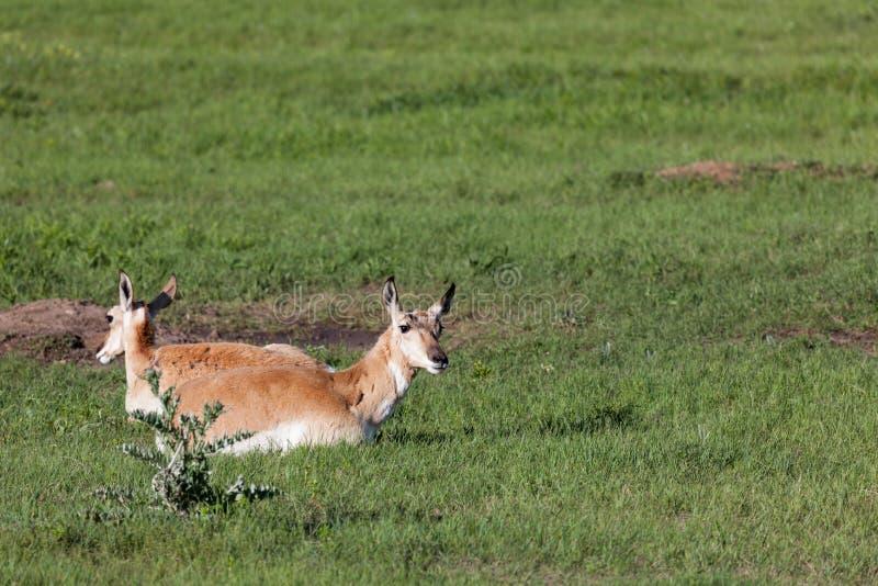 Antilope sur la prairie photographie stock
