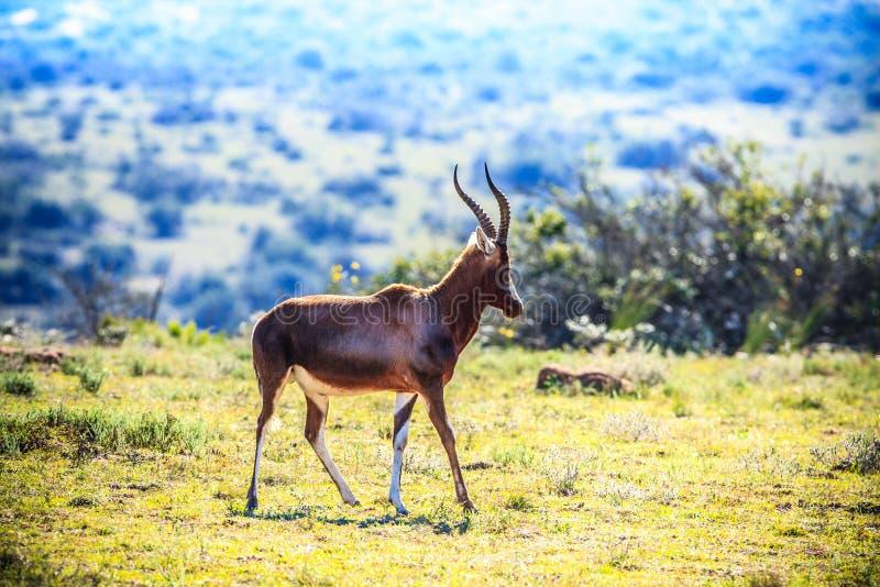 Antilope sur un fond de Savannas photos libres de droits