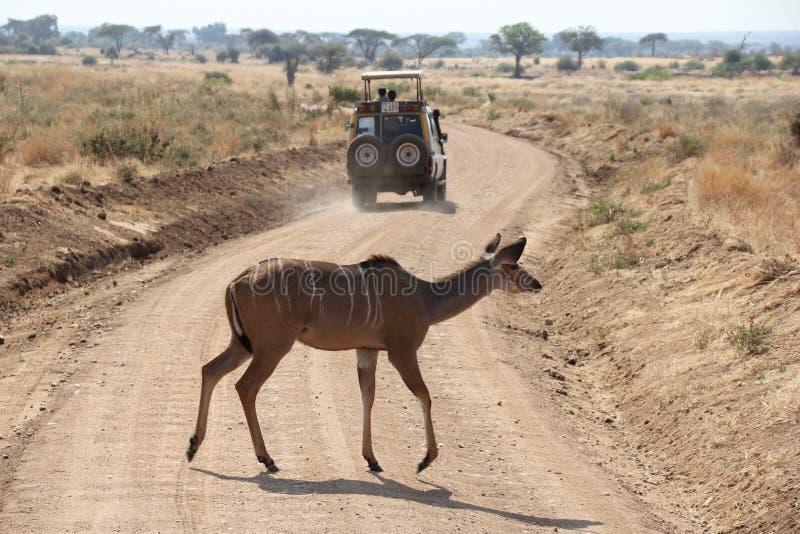 Antilope in un'unione della famiglia che ottiene alimento al parco nazionale Tanzania di ruaha fotografia stock libera da diritti